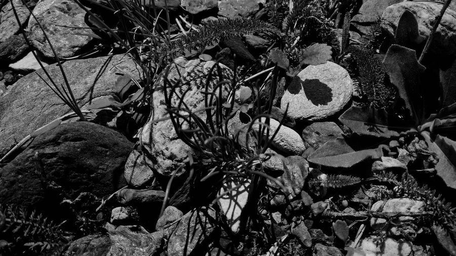 16/9 Beauty In Nature Black & White Blackandwhite Botany Close-up Focus On Foreground Fragility Ground Growth Leaf Light And Shadow Lukmanier Natural Pattern Nature Plant Rock Rock - Object Selective Focus Stone - Object Swiss Alps Switzerland Textured  Ticino Valle Di Blenio