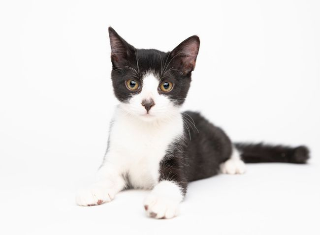 Pets Domestic Domestic Animals Mammal Animal Themes One Animal Animal Domestic Cat Feline Cat No People White Background Looking At Camera Sitting Studio Shot Close-up Relaxation