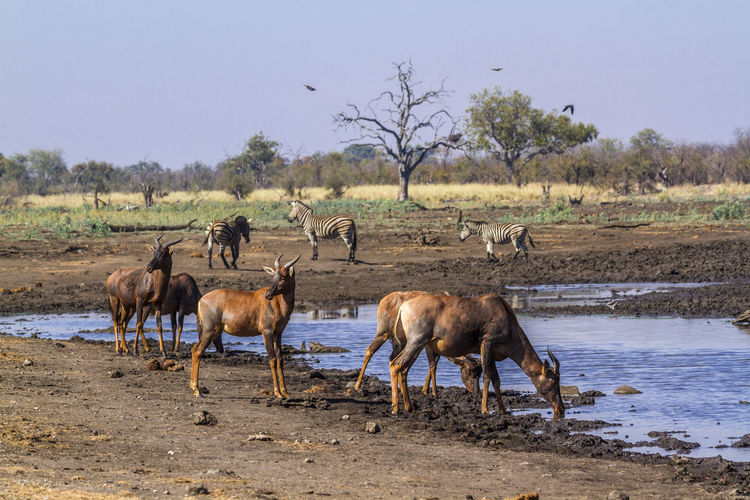 Antelopes with zebras standing at lakeshore against clear sky