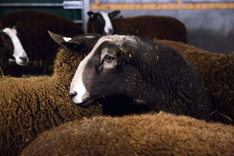 Close-up of male brown sheep at farm Barn Farm Farm Life RAM Animal Themes Brown Close-up Day Domestic Animals Hay Livestock Male Animal Mammal Nature No People One Animal Outdoors Pets Portrait Shed Sheep Sheeps Sheepskin Wood - Material