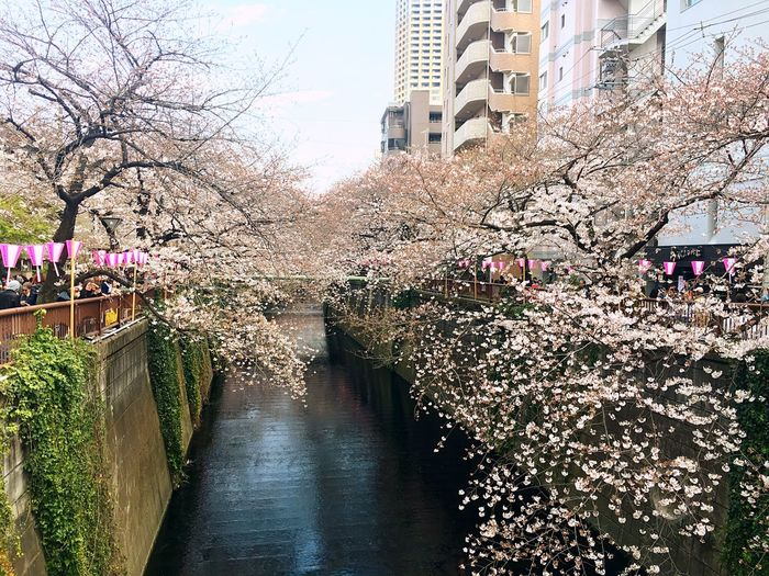 Flower Tree City Nature Springtime Water Built Structure Growth The Way Forward Architecture Outdoors Building Exterior Bare Tree Beauty In Nature Meguro River Hanami Hanami Sakura  Japanese Culture Cherryblossom Cherry Blossoms Japan Photography Beauty In Nature Day Freshness Nature Photography