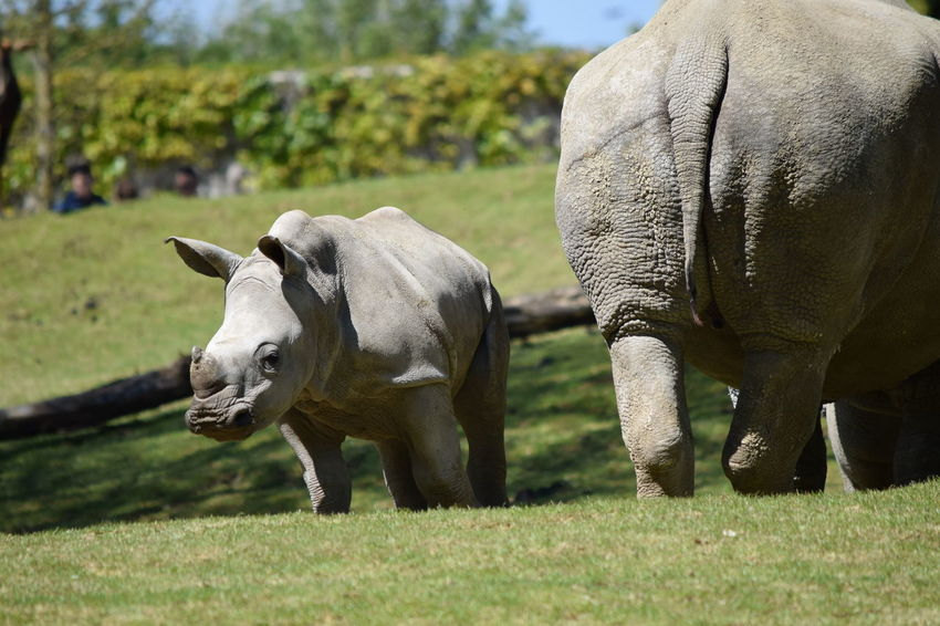mom and baby Rhinoceros Animal Themes Animal Wildlife Animals In The Wild Baby Close-up Day Domestic Animals Field Focus On Foreground Grass Mammal Nature No People One Animal Outdoors Rhinoceros Safari Animals
