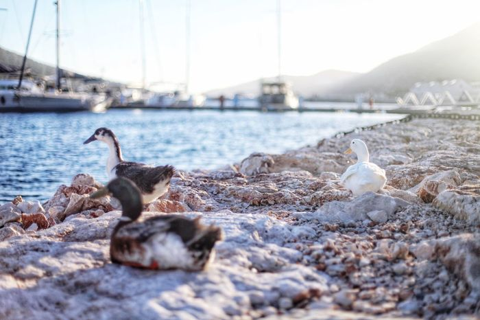 Sitting Ducks Beach Boats Waterfront Water Travel Photography Kas Marina Ducks Duck Bird Animal Themes Animals In The Wild Water Day Animal Wildlife Lake No People Goose Close-up Outdoors Swan Sky Nature