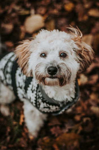 Close-up portrait of white dog in christmas jumper sitting in autumn leaves