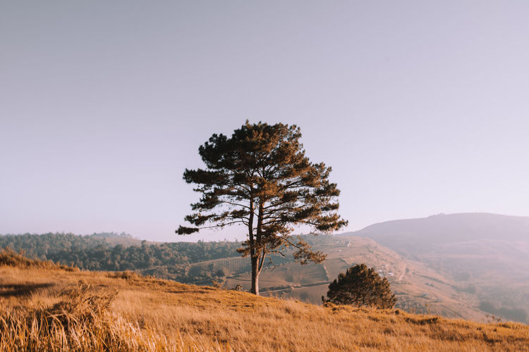 Summer only Tree on the mountain. pine tree sitting alone on the mountain. Coniferous Tree Grass Remote Outdoors Growth Copy Space Non-urban Scene Nature No People Environment Clear Sky Land Landscape Field Scenics - Nature Sky Beauty In Nature Tranquility Tranquil Scene Plant Tree