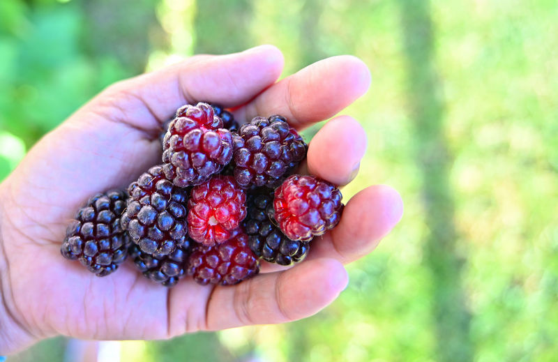 Human Hand Healthy Eating Hand Fruit Food And Drink One Person Berry Fruit Food Holding Freshness Focus On Foreground Human Body Part Wellbeing Real People Day Raspberry Close-up Finger Unrecognizable Person Body Part Ripe Hands Cupped