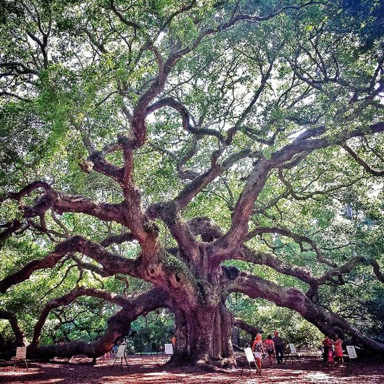 Angel Oak. The park was about to close, but managed to take this shot. Coming back tomorrow for more shots. This tree is 400-500 years old. The trunk is 28' in circumference.