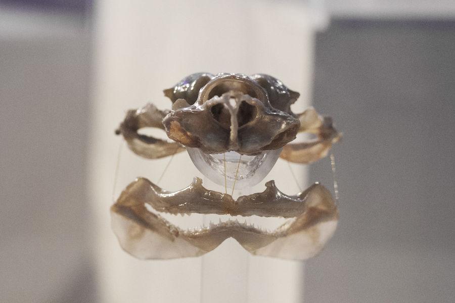Close-up Cranium Jaw Lemon Shark Macro Museum Piece Nature Shark Skull