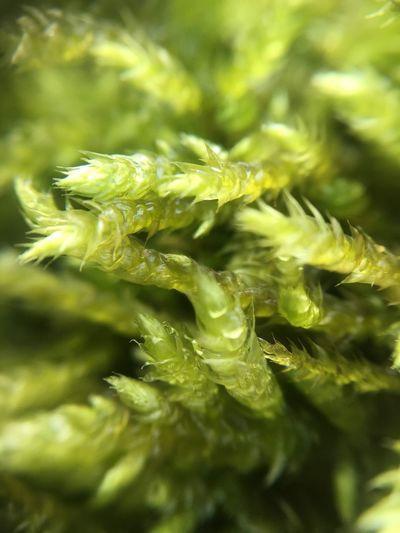 Macro moss Moss
