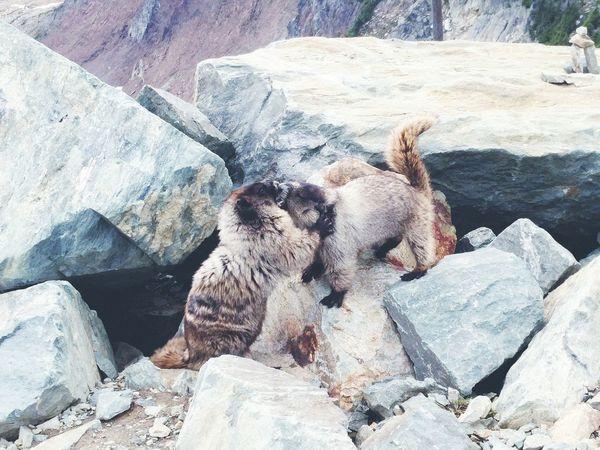 Mountain marmot Animals In The Wild Nature Animal Wildlife Marmot Animals Animal Fight Cute Rocks Mountains Toundra