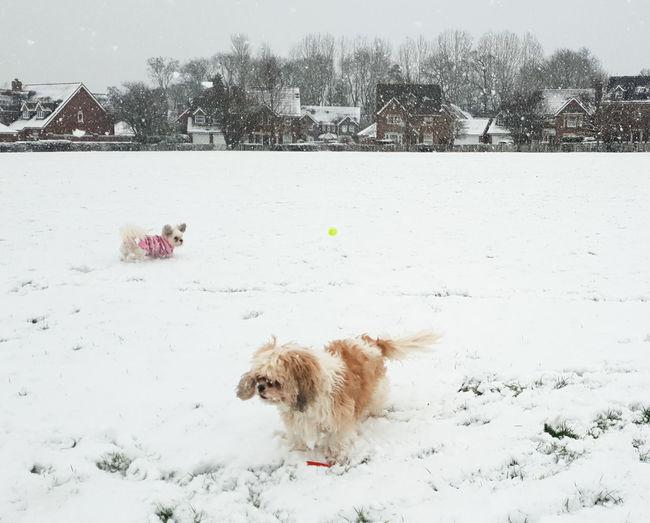 Winter Snow Cold Temperature Pets Canine Dog Mammal Snowing Field Nature Shichon Cavatzu