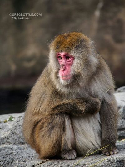 Another Snow Monkey shot. I was hoping to catch them in the water, but they didn't go in unfortunately. Snow Monkey New York Zoo Wildlife