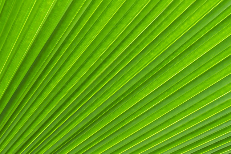 Abstract Backgrounds Biology Close-up Day Development Frond Full Frame Green Color Growth Intricacy Leaf Nature No People Palm Leaf Palm Tree Pattern Plant Satisfaction Striped Sunlight Textured  Tree Tropical Climate Vibrant Color