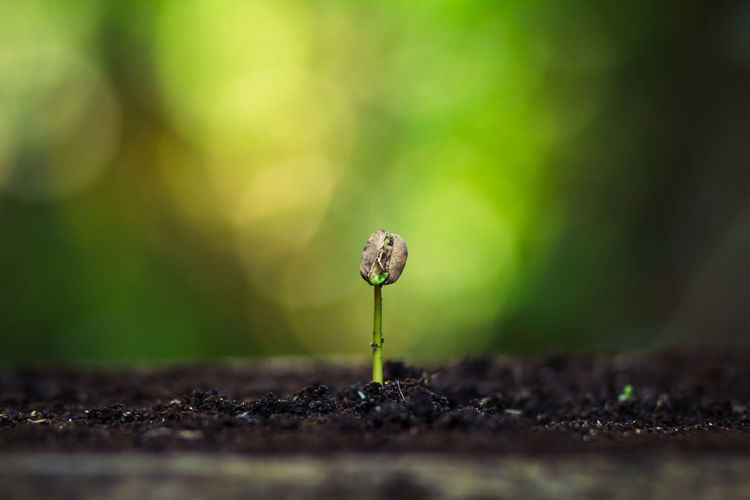 Coffee seed tree sapling in nature Beauty In Nature Beginnings Close-up Day Flower Food Fragility Freshness Fungus Gardening Green Color Growth Land Mushroom Nature New Life No People Outdoors Plant Plant Stem Selective Focus Small Surface Level Vegetable Vulnerability