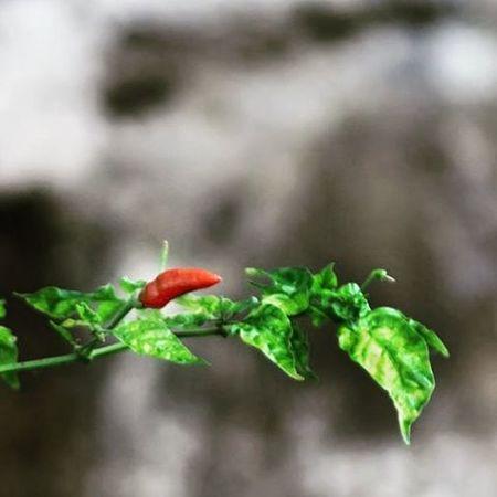 Alone. Red hot chili. Cabe rawit. Rawit Hotchili Red Alone Photooftheday