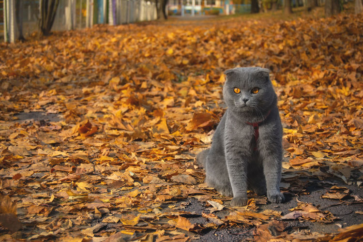 One Animal Autumn Animal Themes Animal Leaf Plant Part Mammal Change No People Nature Animal Wildlife Focus On Foreground Animals In The Wild Portrait Looking Outdoors Land Close-up Leaves Whisker Cute Kitten Belarus Autumn Vertebrate Colors Of Autumn Scotishfold