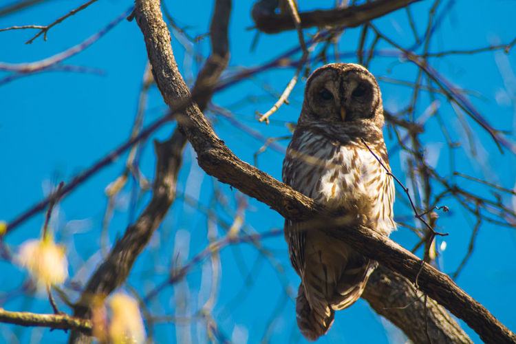 Low angle view of barred owl high in a tree on a spring morning