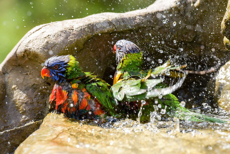 High angle view rainbow lorikeet bathing in fountain