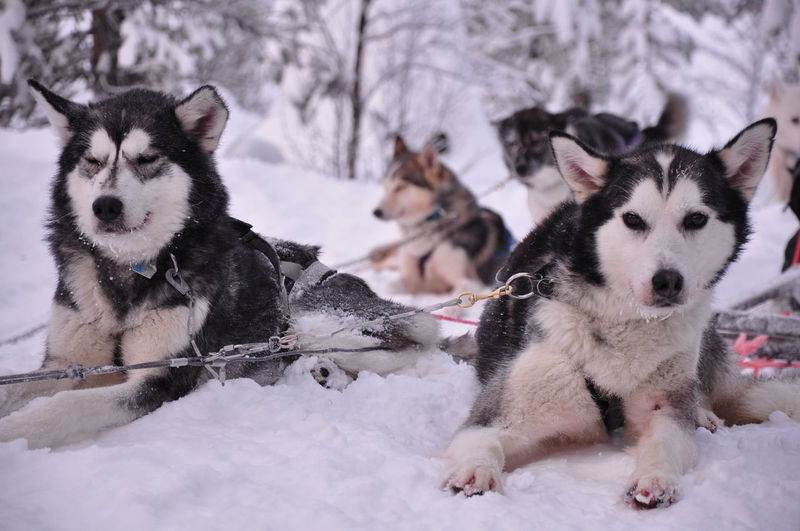 Dogs Sitting On Snow Field