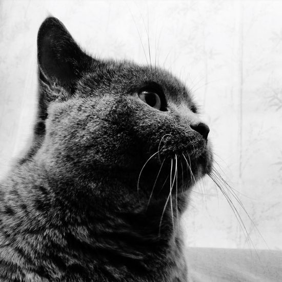 Cat Cats Britishcat Britishcats британцы кот котэ Коты