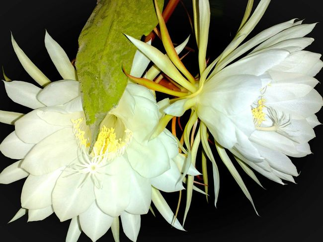 Showcase: December Wijayakusuma Flowers Mybackyard Indonesia_photography EyeEm Indonesia Taking Photos Nature Photography EyeEm Nature Lover Homesweethome