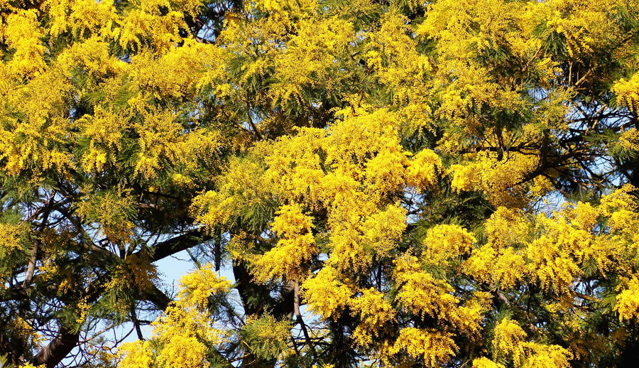 Golden Wattle (Acacia pycnantha) Acacia Pycnantha Flowering Golden Wattle Tree Autumn Background Backgrounds Beauty In Nature Branch Change Close-up Day Flower Forest Freshness Full Frame Growth Nature No People Outdoors Pattern Scenics Summer Tree Yellow