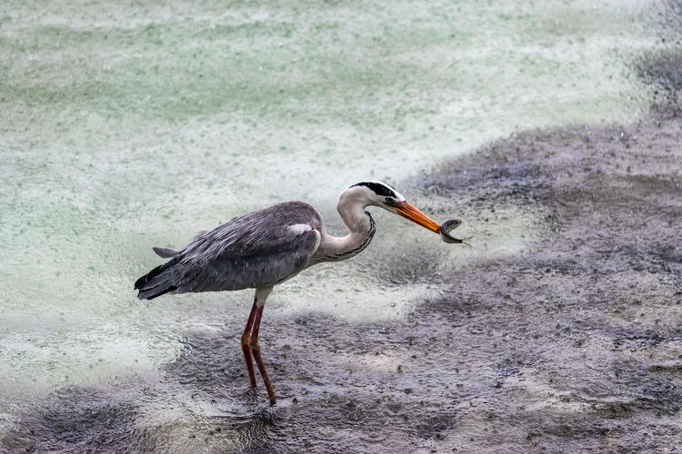 Animal Animal Themes Animal Wildlife Bird Animals In The Wild Vertebrate Water One Animal Nature No People Side View Heron Water Bird Day Sea Land Outdoors Survival Beach Profile View Waiting