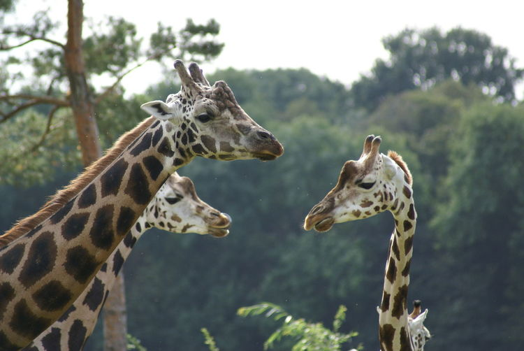 Close-up side view of giraffes