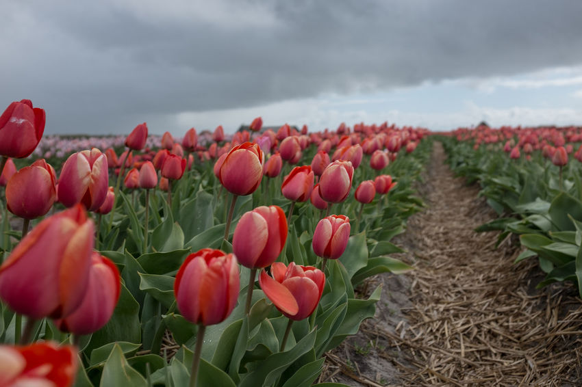 Beauty In Nature Blumen Blumenfelder Close-up Cloud - Sky Day Field Flower Flower Head Fragility Freshness Growth Holland Nature Niederland No People Outdoors Plant Sky Texel  Tulpen Tulpenblüte