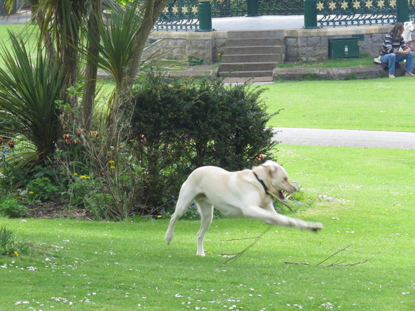 Taking Photos Bushes And Trees Green Lawns Warm Summer Day Local Park Dog Labrador Playing With Sticks