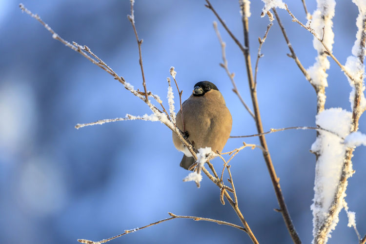 Female bullfinch sitting on branch in snowy landscape. Djur Domherre Europa Europe Fåglar Kalvträsk Norden Sverige Sweden Västerbotten Gömsle Snö  Solsken Vinter Bird Perching Animal Wildlife One Animal Animal Animal Themes Vertebrate Animals In The Wild Focus On Foreground Tree Branch Plant Nature No People Day Songbird  Winter Cold Temperature Low Angle View Outdoors Bullfinch Snow