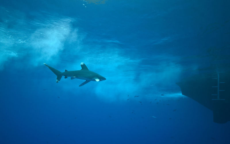 Oceanic white tip shark Carcharhinus Longimanus Nature Ocean Oceanic Oceanic Shark Oceanic White Tip Shark Red Sea Sea Life Shark Shark And Boat Surface UnderSea Underwater Water