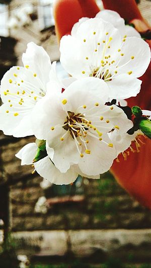Nature Flower Head Flower Beauty In Nature Growth Day Tree Freshness Plant Nice Spring Photo Eyeemphoto House Background Apple Flower Apple Tree Outdoors City Nature In The City First Flowers Of Spring EyeEmNewHere