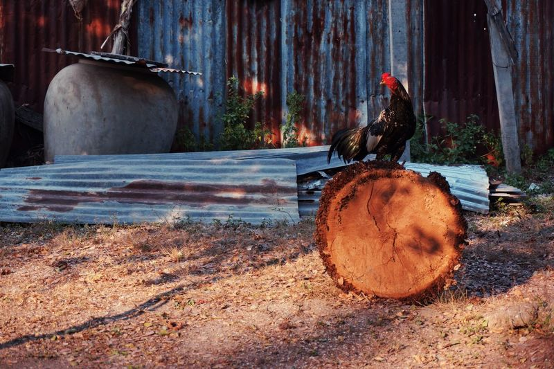 Chicken bird on log in yard