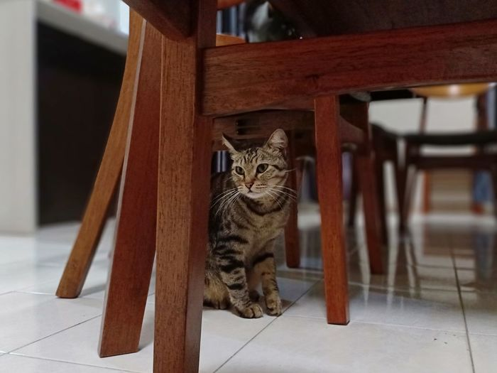 Pets Portrait Feline Kitten Domestic Cat Sitting Looking At Camera Ginger Cat Tabby Cat Whisker