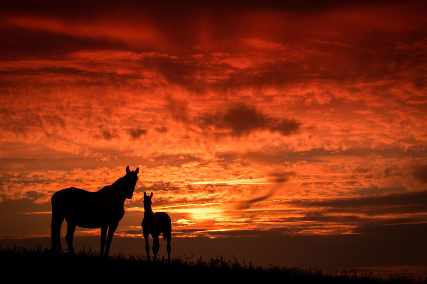 Copy Space Czech Czech Republic Horses Mare Mare And Foal Pasture Red Red Sunset Sunset Silhouettes Animal Animal Themes Beauty In Nature Cloud - Sky Copyspace Domestic Animals Field Foal Horse Orange Color Outdoors Red Color Silhouette Sky Sunset The Great Outdoors - 2018 EyeEm Awards The Traveler - 2018 EyeEm Awards