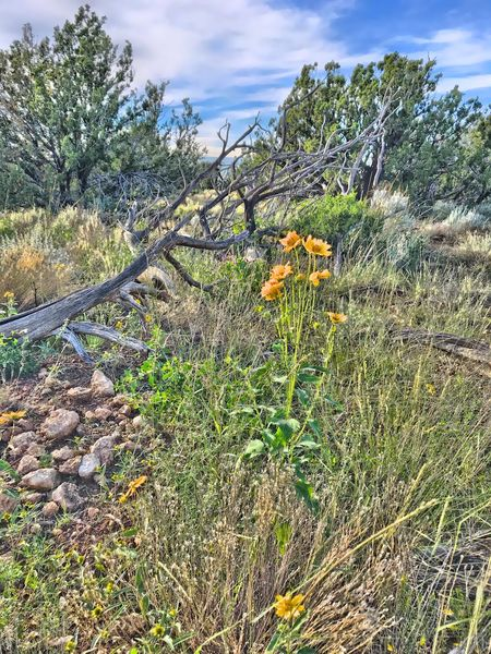 """""""A Last Splash Of Summer"""" Summer is gone and I mourn it greatly with the cold temps, and even some snow moving into the Central Highlands of New Mexico but my collection of Summer memories will help keep me warm through Autumn and Winter. New Mexico Skies New Mexico Photography New Mexico Sunflowers Juniper Trees Missing Summer Summer Is Over Summer Last Days Of Summer Plant Growth Beauty In Nature Green Color Nature Day No People Sky"""