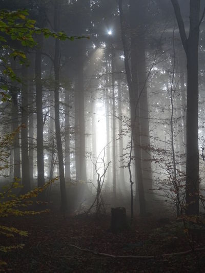 Tree Fog Forest