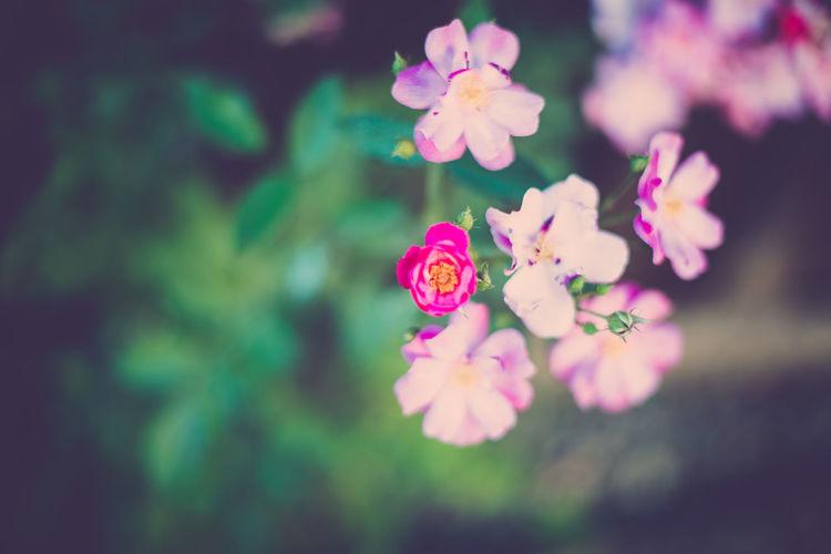 Garden Garden Flowers Garden Photography Mini Rose Mini Roses Nature Pink Rose Pink Roses Pink Roses Close-up Pink Roses Little