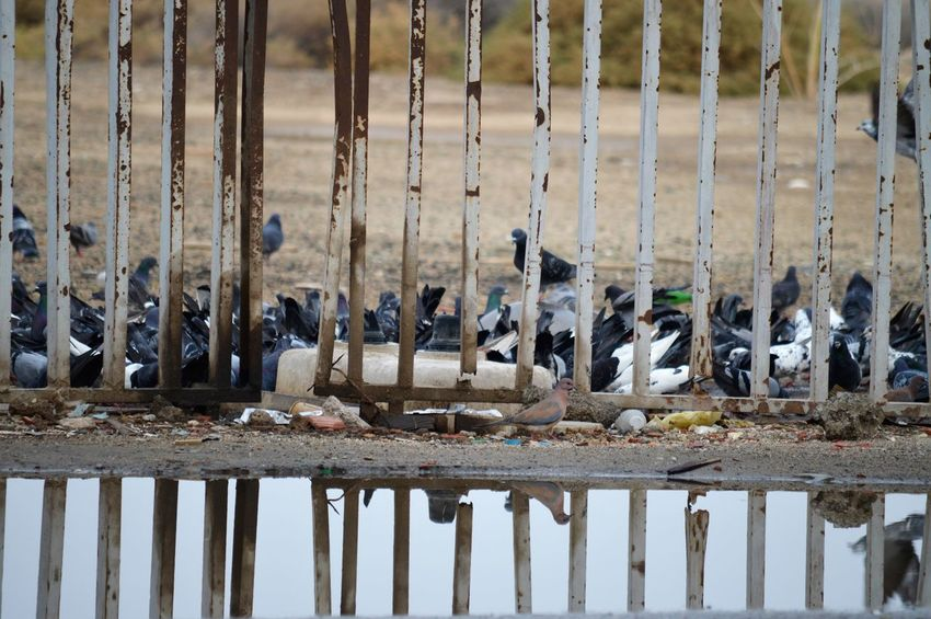 Animal Group Of Animals Animal Themes Large Group Of Animals Animal Wildlife Animals In The Wild Bird Vertebrate No People Day Nature Water Focus On Foreground Wood - Material Lake Barrier Flock Of Birds Outdoors Land