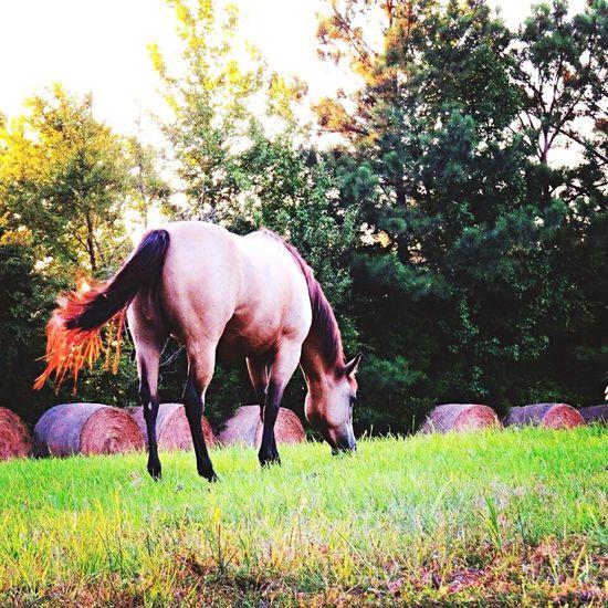 #horse Buckskin Field