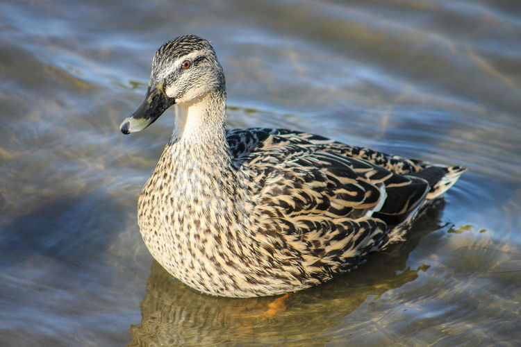 An adult female Mallard Duck on a lake in New Zealand. Animal Themes Animal Wildlife Animals In The Wild Beauty In Nature Bird Close-up Day Duck Female Bird Female Duck Lake Nature No People One Animal Outdoors Swimming Water Water Bird Waterfront