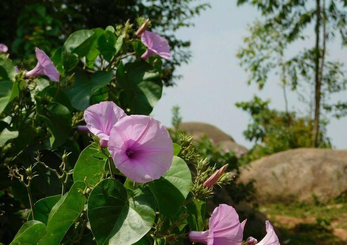 Violet Violet Flower Leaves Green Leaves Green Flower Plant Day Nature Growth Close-up Outdoors No People Beauty In Nature Flower Head Freshness Fragility Petunia Water Patterns Of Nature EyeEmNewHere