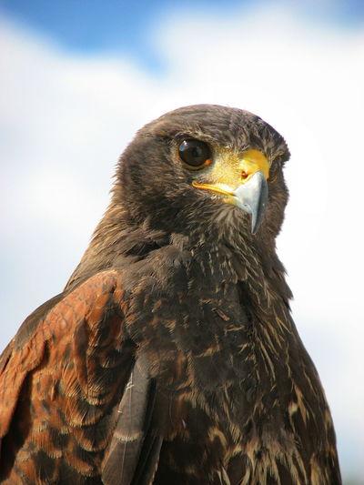 Close-up of harris hawk against sky