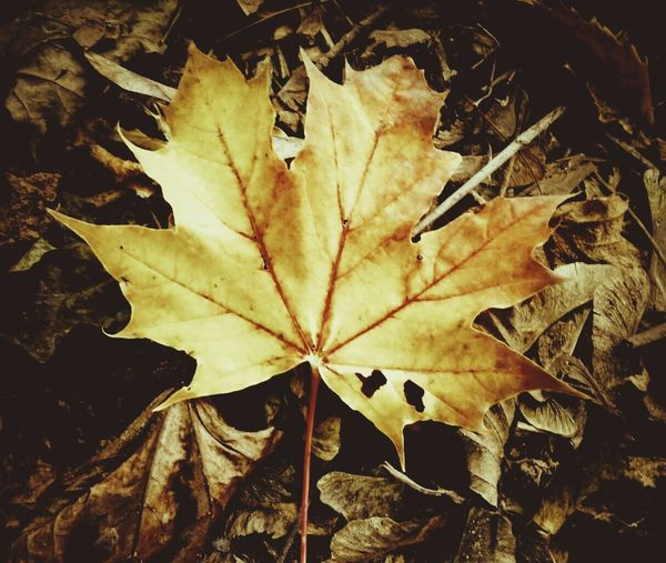 Leaf Autumn Change Maple Leaf Close-up No People Nature Fragility Outdoors Day Maple Power In Nature Autumn Leaves Pebble Beauty In Nature Planet - Space Autumn Autumn Collection