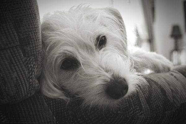 Dog Pets Portrait Looking At Camera Cute Lying Down Indoors  Animal Animal Hair Close-up Tired