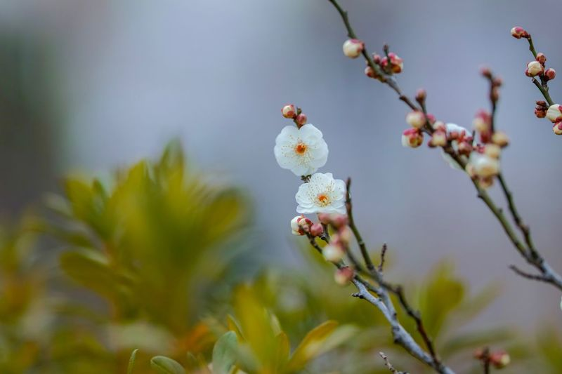 Plum Blossom Flowers Flower Collection Flowerporn Nature EyeEm Nature Lover Nature_collection Nature Photography Taking Photos EyeEm Best Shots EyeEm Gallery From My Point Of View The Week on EyeEm Plant Flower Flowering Plant Growth Beauty In Nature Focus On Foreground Fragility Nature Freshness Flower Head Petal Branch Selective Focus
