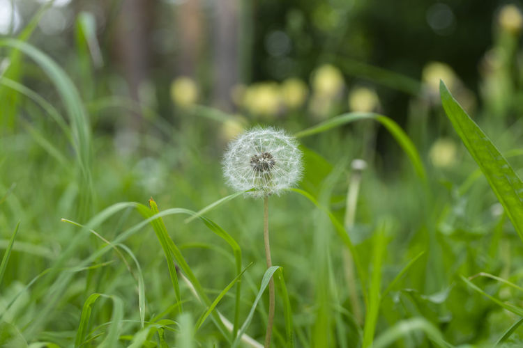 Close-up of dandelion flower on field
