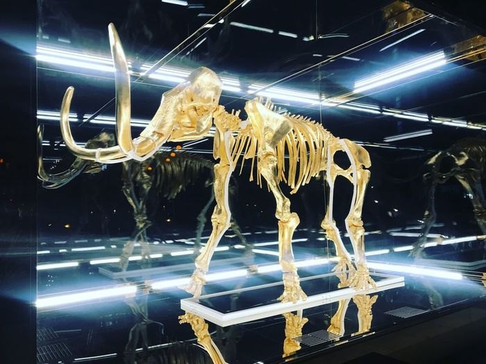 'Hirst's 'Gone but not Forgotten' – the gilded skeleton of a three-metre tall woolly mammoth – is on display in the garden of the Faena Hotel Miami Beach.' Damien Hirst No People Illuminated Close-up Lighting Equipment Wall - Building Feature Window Night First Eyeem Photo My Best Travel Photo EyeEmNewHere