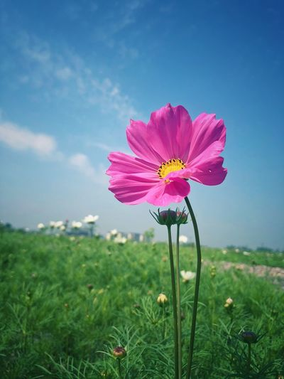 Close-up of pink cosmos flower on field against sky